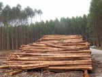 Negative impacts of tree plantations ignored by Northern consumer countries