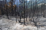 Burned eucalyptus trees. Margus Kurvitis