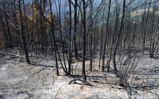 Burned eucalyptus trees. Margus Kurvitis