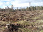 Clearcut near Imavere. Photo: Almuth Ernsting