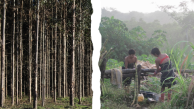 Plantaciones vs. Bosques: Por qué debemos mantener los monocultivos fuera de los esquemas de restauración de tierras y mitigación del clima